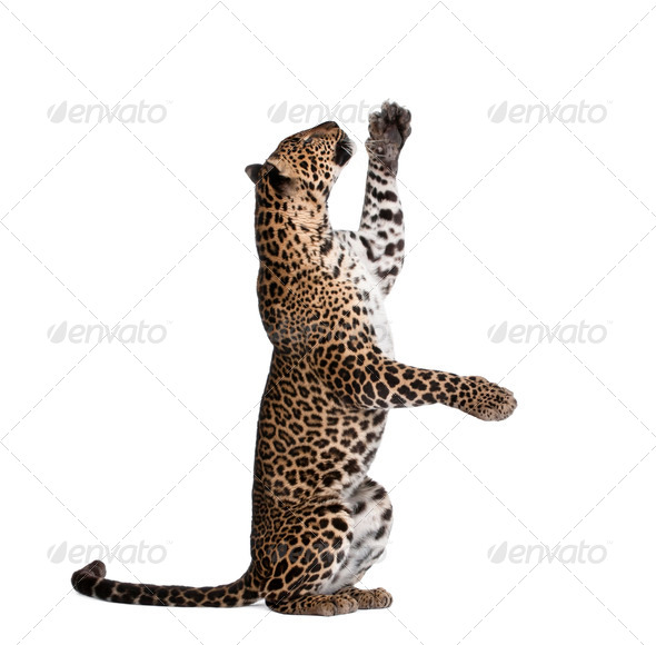 Leopard, Panthera pardus, reaching up against white background, studio shot - Stock Photo - Images