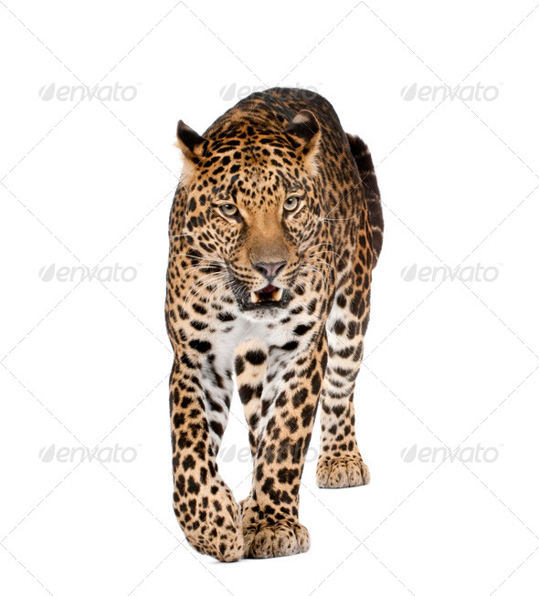 Portrait of leopard walking and snarling, Panthera pardus, against white background, studio shot - Stock Photo - Images