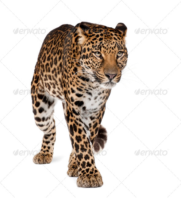 Leopard, Panthera pardus, walking against white background, studio shot - Stock Photo - Images