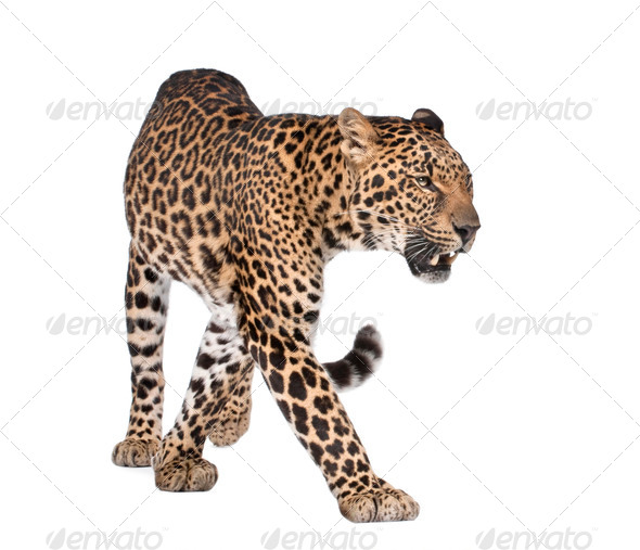 Portrait of leopard, Panthera pardus, walking, studio shot - Stock Photo - Images