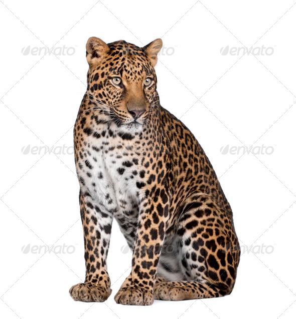 Portrait of leopard, Panthera pardus, sitting against white background, studio shot - Stock Photo - Images