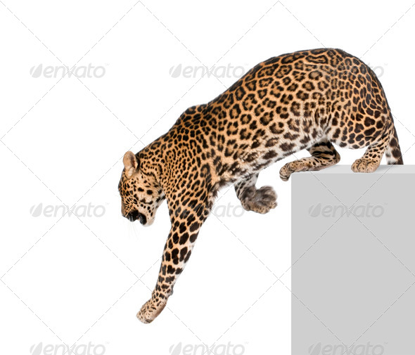 Leopard, Panthera pardus, climbing off pedestal against white background, studio shot - Stock Photo - Images