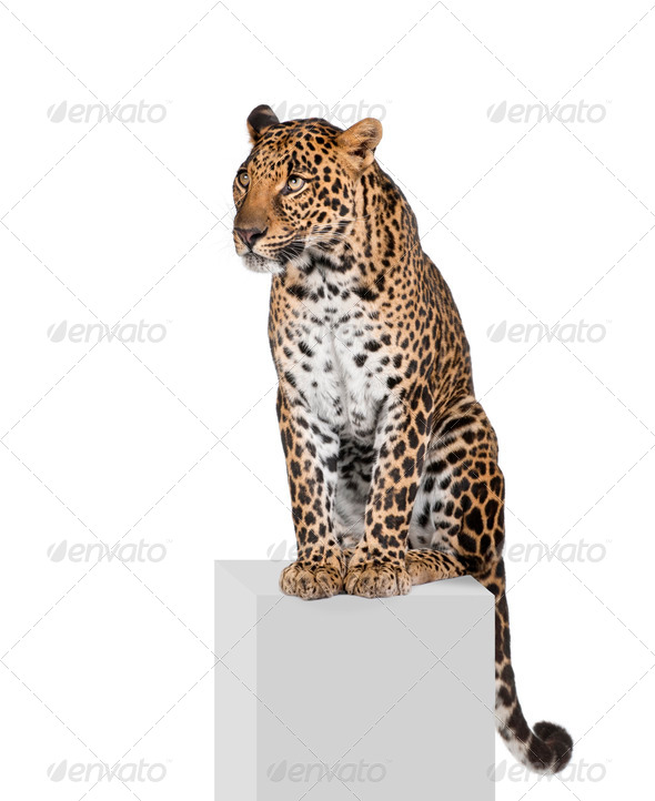 Leopard, Panthera pardus, sitting on pedestal in front of white background, studio shot - Stock Photo - Images