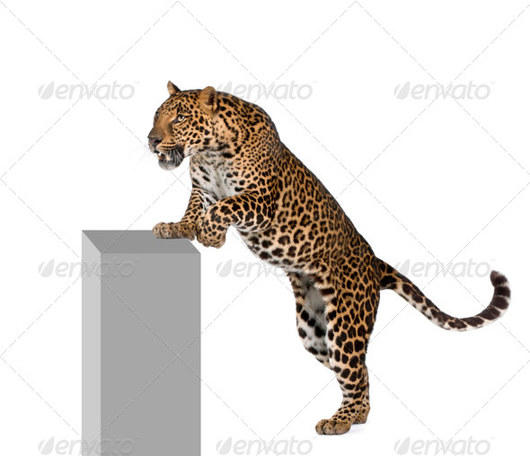 Leopard, Panthera pardus, climbing on pedestal against white background, studio shot - Stock Photo - Images