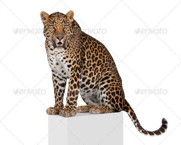 Portrait of leopard, Panthera pardus, on pedestal against white background, studio shot - Stock Photo - Images
