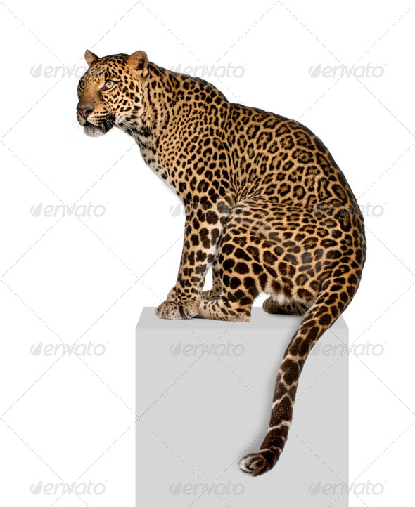 Portrait of leopard, Panthera pardus, on pedestal against white background, studio shot - Stock Photo - Images