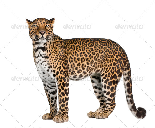Portrait of leopard, Panthera pardus, standing against white background, studio shot - Stock Photo - Images