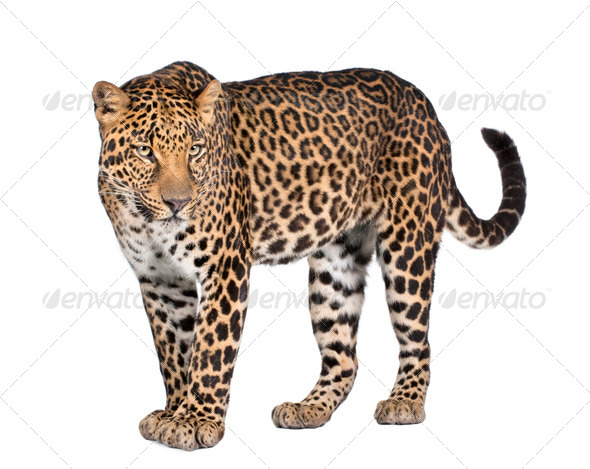Portrait of leopard, Panthera pardus, standing, studio shot - Stock Photo - Images