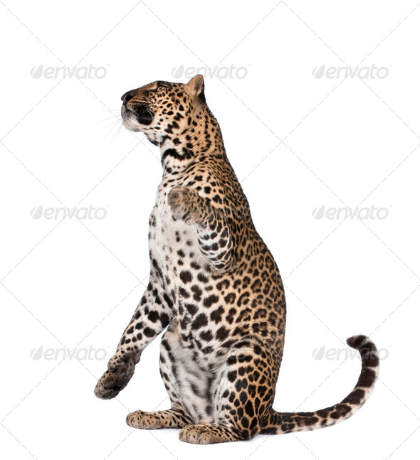 Portrait of leopard, Panthera pardus, sitting against white background, studio shot - Stock Photo - Images