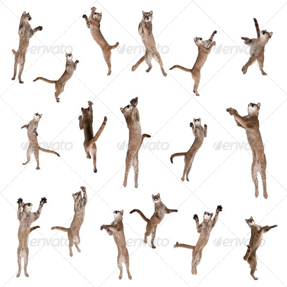 Multiple Pumas jumping in air against white background, studio shot - Stock Photo - Images