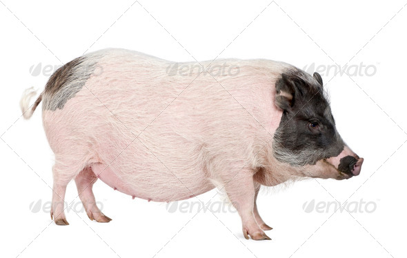 Side view of Gottingen minipig standing against white background, studio shot - Stock Photo - Images