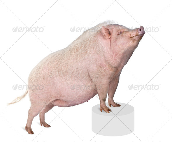 Portrait of Gottingen minipig standing on pedestal against white background, studio shot - Stock Photo - Images