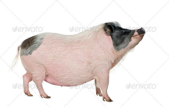 Side view of Gottingen minipig standing, studio shot - Stock Photo - Images