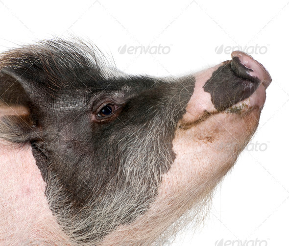 Side view of Gottingen minipig in front of white background, studio shot - Stock Photo - Images