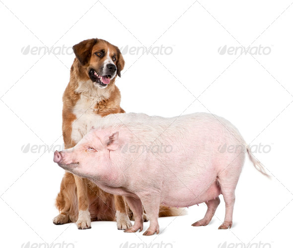 Gottingen minipig and dog standing in front of white background, studio shot - Stock Photo - Images