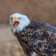 american bald eagle (haliaeetus leucocephalus) - PhotoDune Item for Sale
