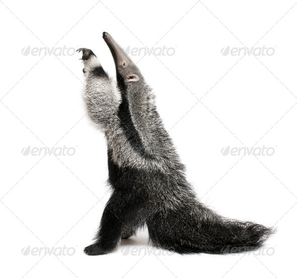 Young Giant Anteater (3 months old) - Myrmecophaga tridactyla - Stock Photo - Images