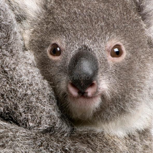 Close-up of Koala bear, Phascolarctos cinereus, 9 months old - Stock Photo - Images