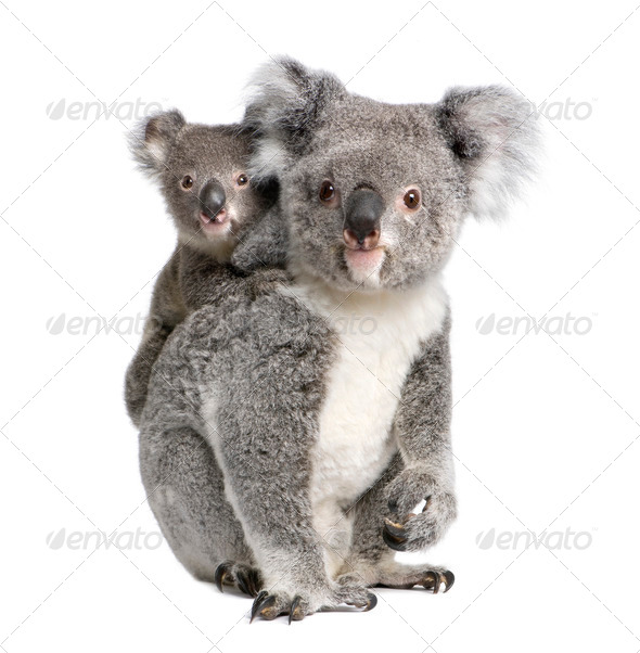 Koala 4 years old and 9 months old - Phascolarctos cinereus - Stock Photo - Images