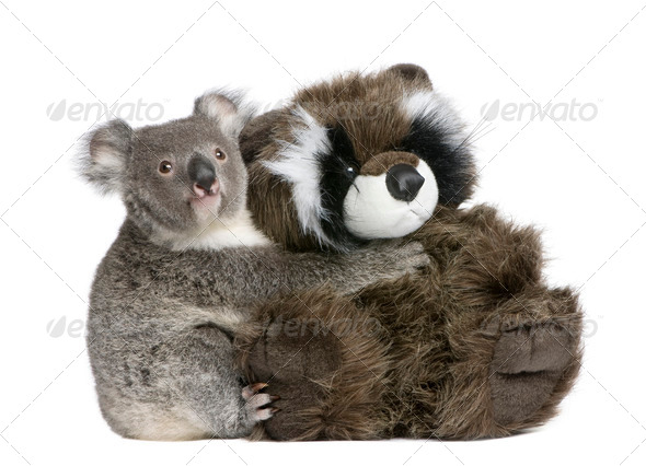 Koala 9 months old - Phascolarctos cinereus - Stock Photo - Images