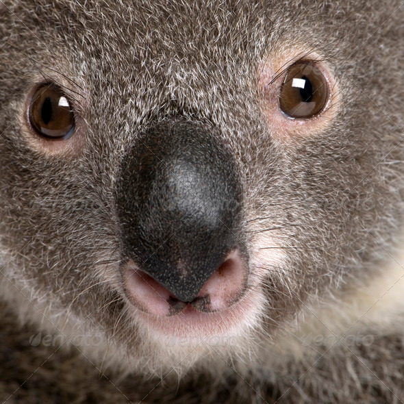 Close-up portrait of male Koala bear, Phascolarctos cinereus, 3 years old - Stock Photo - Images