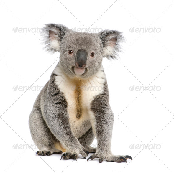 Male Koala 3 years old - Phascolarctos cinereus - Stock Photo - Images