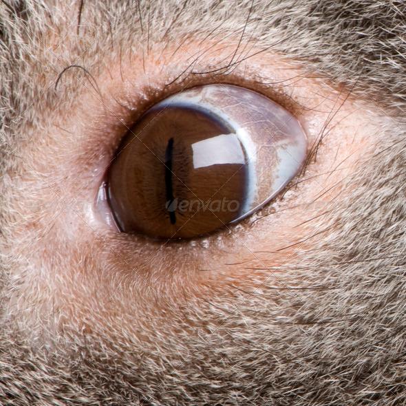 Male Koala 3 years old - Phascolarctos cinereus - Stock Photo - Images
