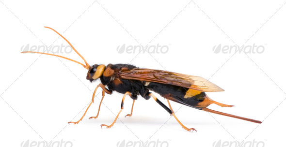 Horntail or wood wasp, Urocerus gigas, in front of white background, studio shot - Stock Photo - Images