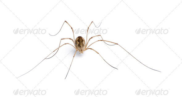 Opiliones spider in front of white background, studio shot - Stock Photo - Images