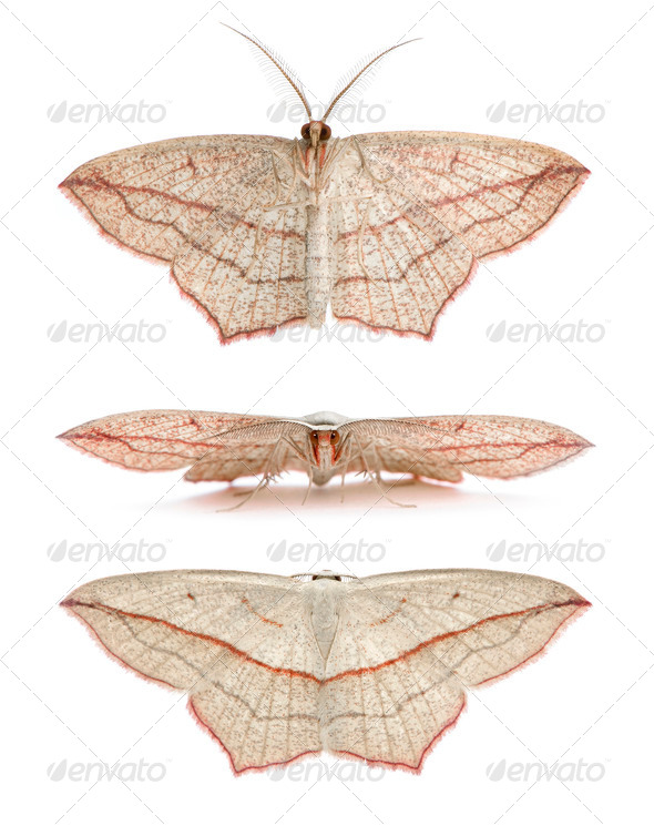Blood-vein moths, Timandra comae, in front of white background, studio shot - Stock Photo - Images