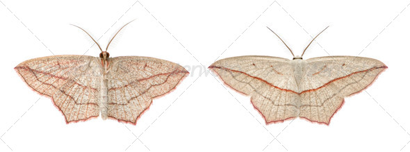 Two blood-vein moths, Timandra comae, in front of white background, studio shot - Stock Photo - Images