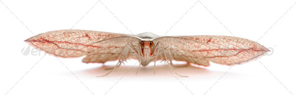 Blood-vein moth, Timandra comae, in front of white background, studio shot - Stock Photo - Images