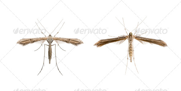 High angle view of two moths, Lepidoptera, in front of white background, studio shot - Stock Photo - Images