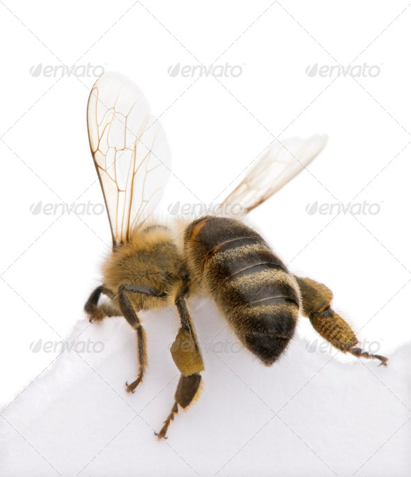 Honeybee in front of white background, studio shot - Stock Photo - Images