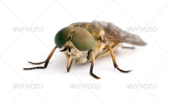 Pale giant horse-fly, Tabanus bovinus, in front of white background, studio shot - Stock Photo - Images