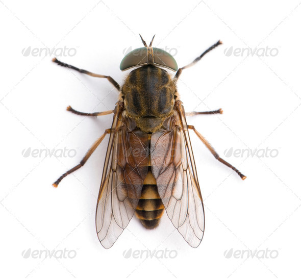 High angle view of pale giant horse fly, Tabanus bovinus, against white background, studio shot - Stock Photo - Images