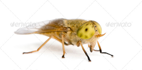 Horse-fly, Atylotus rusticus, against white background, studio shot - Stock Photo - Images