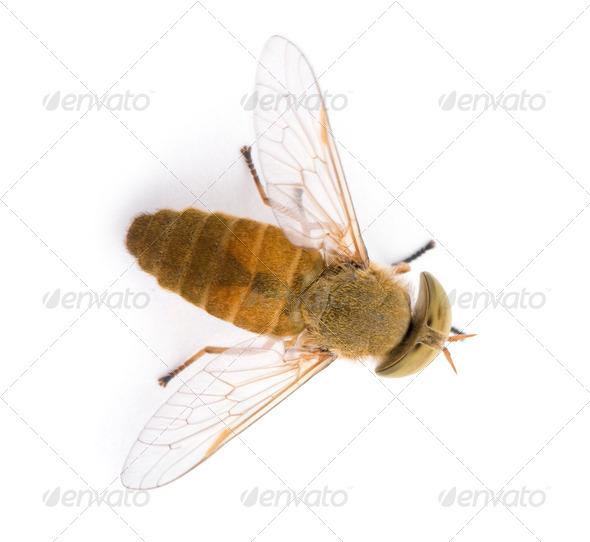 High angle view of Horse-fly, Atylotus rusticus, in front of white background - Stock Photo - Images