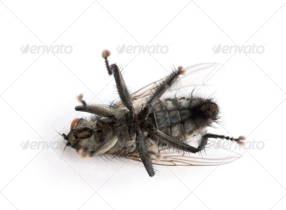 Flesh fly in front of white background, studio shot - Stock Photo - Images