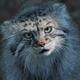 Pallas cat (Otocolobus manul) - PhotoDune Item for Sale