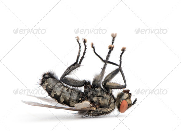 Flesh fly lying on back, Diptera, in front of white background, studio shot - Stock Photo - Images