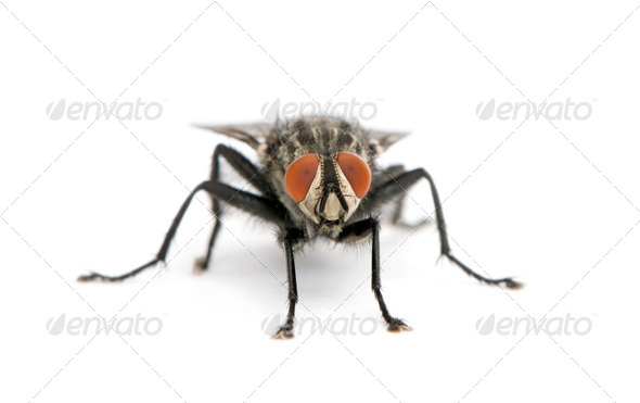 Portrait of flesh fly, Diptera, in front of white background, studio shot - Stock Photo - Images