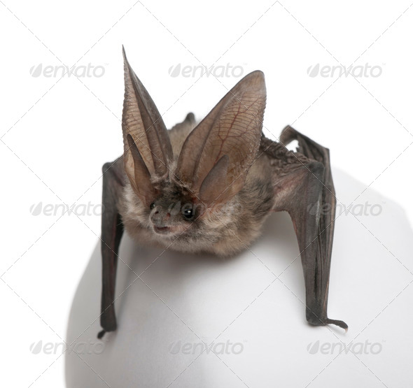 Grey long-eared bat, Plecotus astriacus, in front of white background, studio shot - Stock Photo - Images