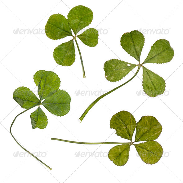 Four four-leaf clovers in front of white background, studio shot - Stock Photo - Images