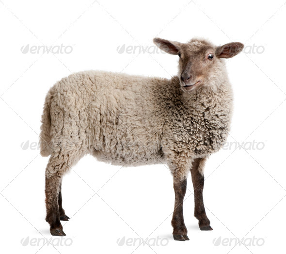 Lamb, 5 months old, standing in front of white background, studio shot - Stock Photo - Images