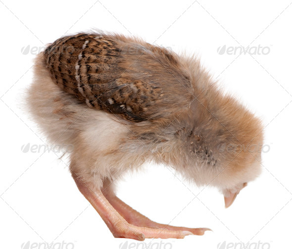 Chick, 13 days old, bending over in front of white background, studio shot - Stock Photo - Images
