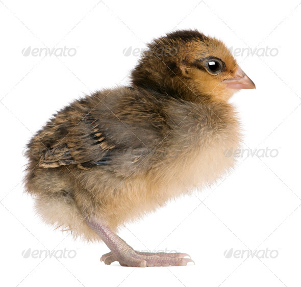 Chick, 3 days old, standing in front of white background - Stock Photo - Images