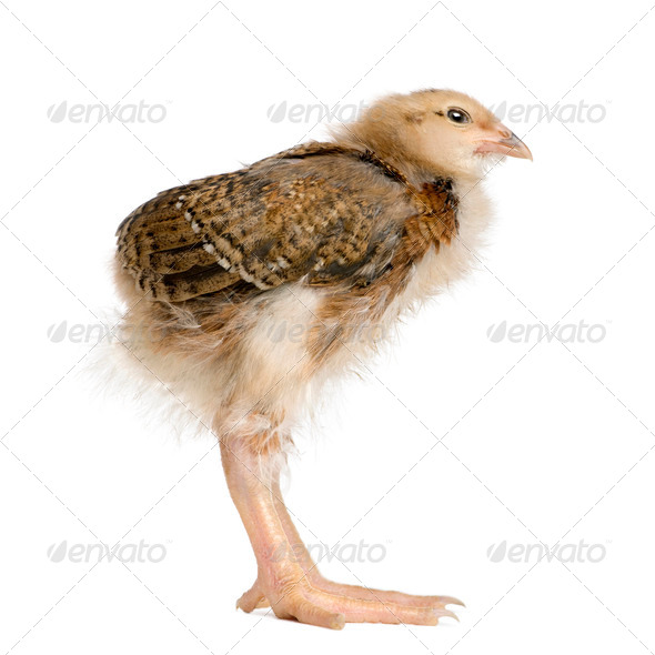 Baby chicken with long legs in front of white background, studio shot - Stock Photo - Images