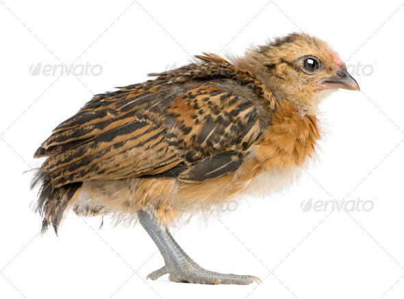 Chick, 19 days old, standing in front of white background - Stock Photo - Images