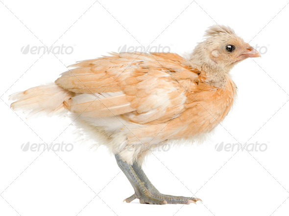 Polish Chicken, 21 days old, standing in front of white background - Stock Photo - Images